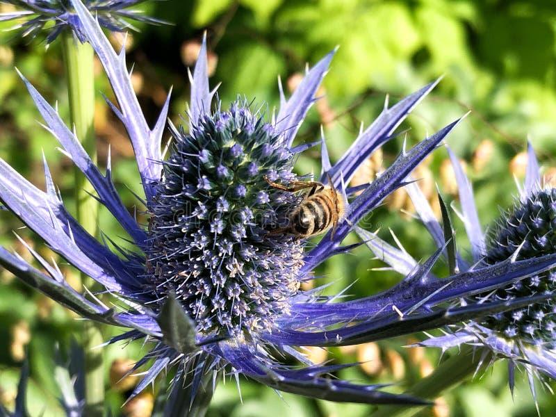 Μέλισσα στη μέλισσα λουλουδιών στον κάρδο στοκ φωτογραφία