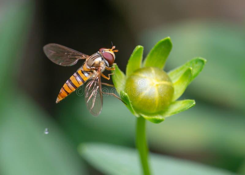 Μέλισσα στον οφθαλμό λουλουδιών στοκ φωτογραφία