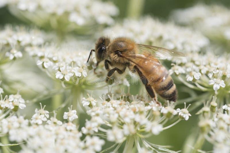 Μέλισσα στο άνθος λουλουδιών δαντελλών βασίλισσας Anne στοκ φωτογραφίες
