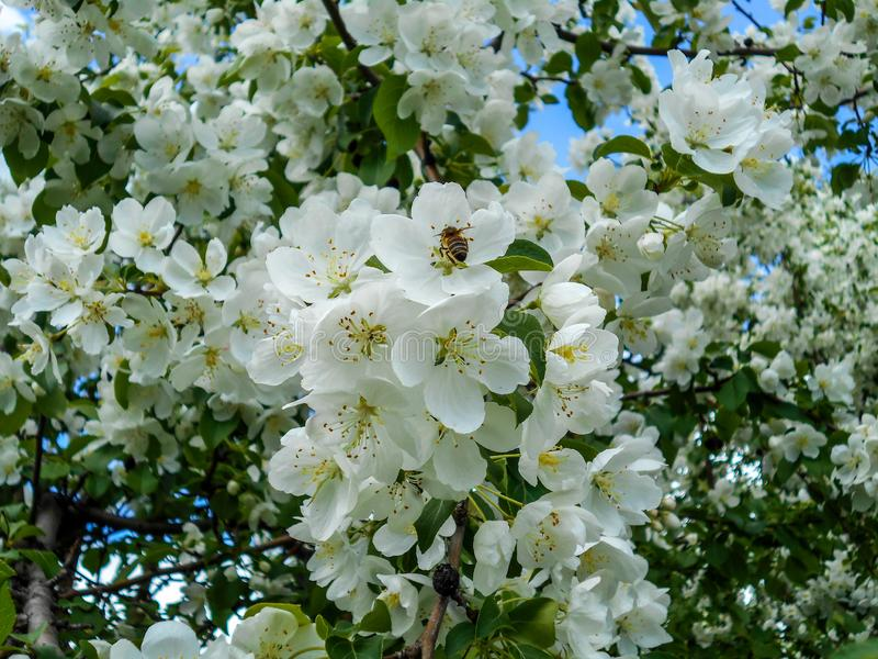 Μέλισσα στο λουλούδι μήλων Κλάδοι του ανθίζοντας δέντρου στοκ εικόνες με δικαίωμα ελεύθερης χρήσης