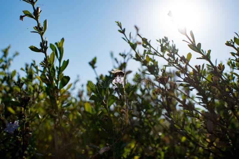 Μέλισσα στο λουλούδι με τον ήλιο από πίσω στοκ εικόνες