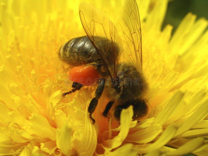 Download μέλισσα στοκ εικόνα. εικόνα από φυτό, φύση, άγριος, flowery - 106095