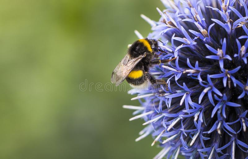 Μέλισσα Bumble σε Echinops στοκ εικόνα με δικαίωμα ελεύθερης χρήσης