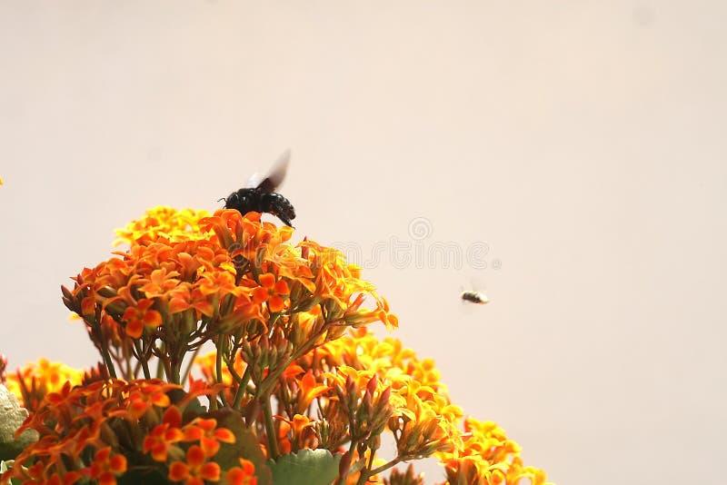 Μέλισσα Bumble στο πορτοκάλι λουλουδιών Kalanchoe κίτρινο στοκ εικόνες με δικαίωμα ελεύθερης χρήσης