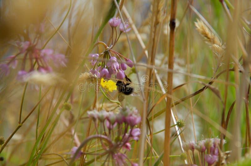 Μέλισσα Bumble στο ρόδινο να κουνήσει κρεμμύδι, νησιά Bunsby, Βρετανική Κολομβία στοκ φωτογραφία με δικαίωμα ελεύθερης χρήσης