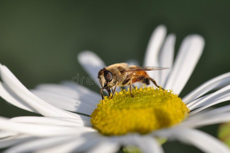 μέλισσα daisys στοκ εικόνες