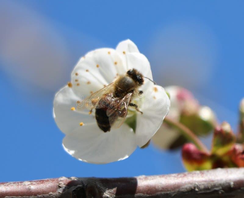 μέλισσα toiler, εργαζόμενος σε μια ημέρα άνοιξη στοκ εικόνα