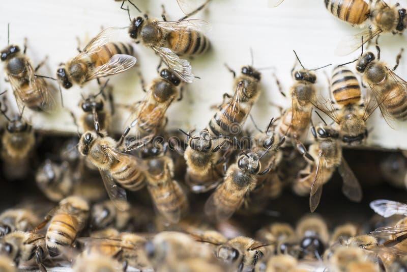 Μέλισσες επάνω έξω από το ξύλινο κιβώτιο κυψελών στοκ φωτογραφίες