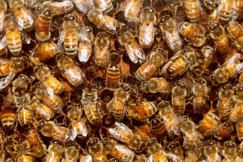 Μέλισσες και μέλι κυψελών στοκ φωτογραφίες με δικαίωμα ελεύθερης χρήσης