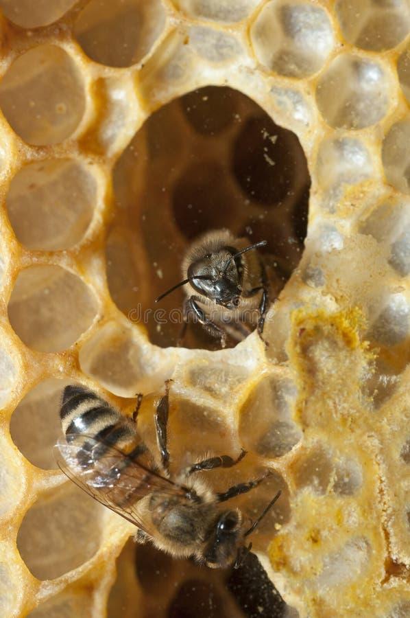 μέλισσες κυψελών στοκ εικόνες με δικαίωμα ελεύθερης χρήσης
