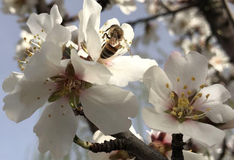 Μέλισσες μελιού και άνθη άνοιξη στοκ φωτογραφία με δικαίωμα ελεύθερης χρήσης