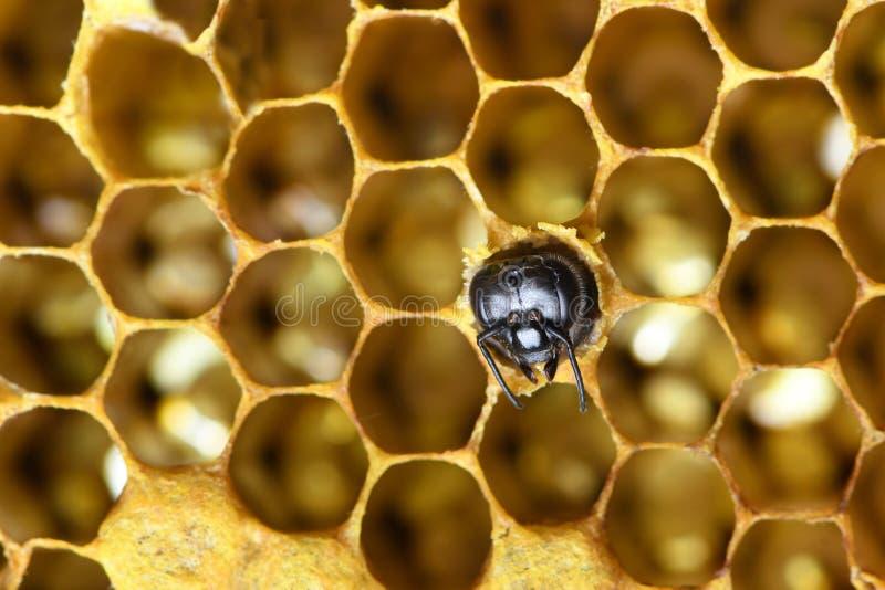 Μέλισσες μελιού στην κυψέλη μελισσών στοκ φωτογραφία με δικαίωμα ελεύθερης χρήσης