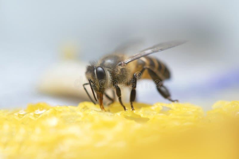Μέλισσες μελιού στην κυψέλη μελισσών στοκ εικόνα