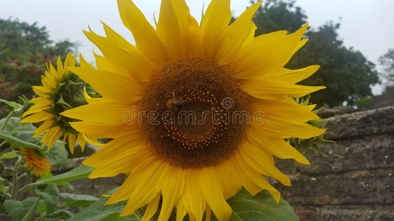 Μέλισσες που αγαπούν tbe τον ήλιο στοκ εικόνες