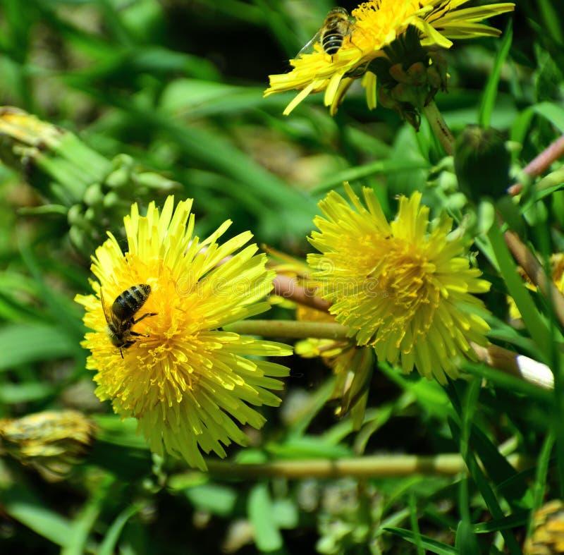 Μέλισσες που απασχολούνται στις σκληρές αρχές του καλοκαιριού στοκ φωτογραφία με δικαίωμα ελεύθερης χρήσης
