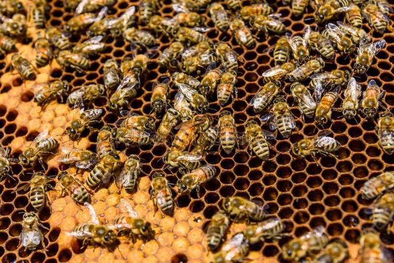 Μέλισσες στην κηρήθρα Μελισσοκομική έννοια closeup στοκ φωτογραφία με δικαίωμα ελεύθερης χρήσης