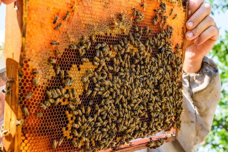 Μέλισσες στην κηρήθρα Μελισσοκομική έννοια closeup στοκ φωτογραφίες με δικαίωμα ελεύθερης χρήσης