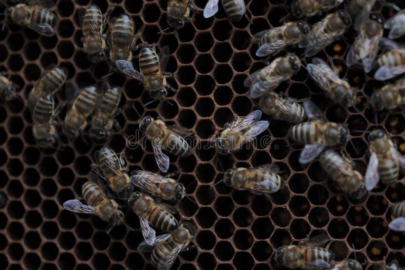 Μέλισσες στην κυψέλη, κινηματογράφηση σε πρώτο πλάνο, εκλεκτική εστίαση στοκ φωτογραφίες με δικαίωμα ελεύθερης χρήσης
