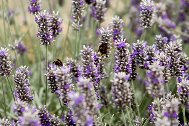 Μέλισσες στη Heather στοκ εικόνα