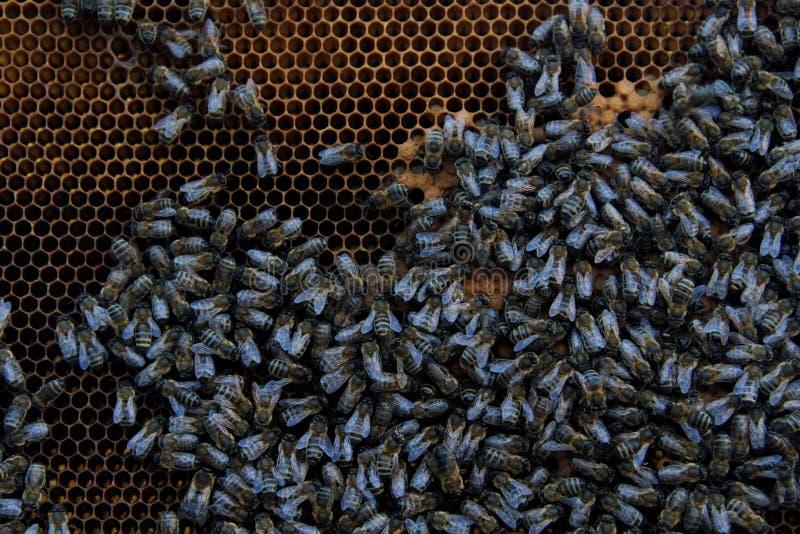 Μέλισσες στις κηρήθρες στοκ εικόνες με δικαίωμα ελεύθερης χρήσης