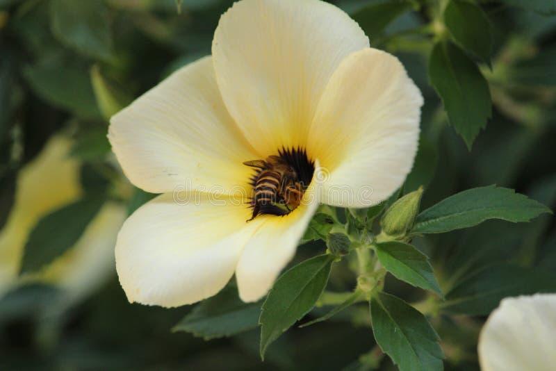 Μέλισσες στον κήπο λουλουδιών στοκ φωτογραφία
