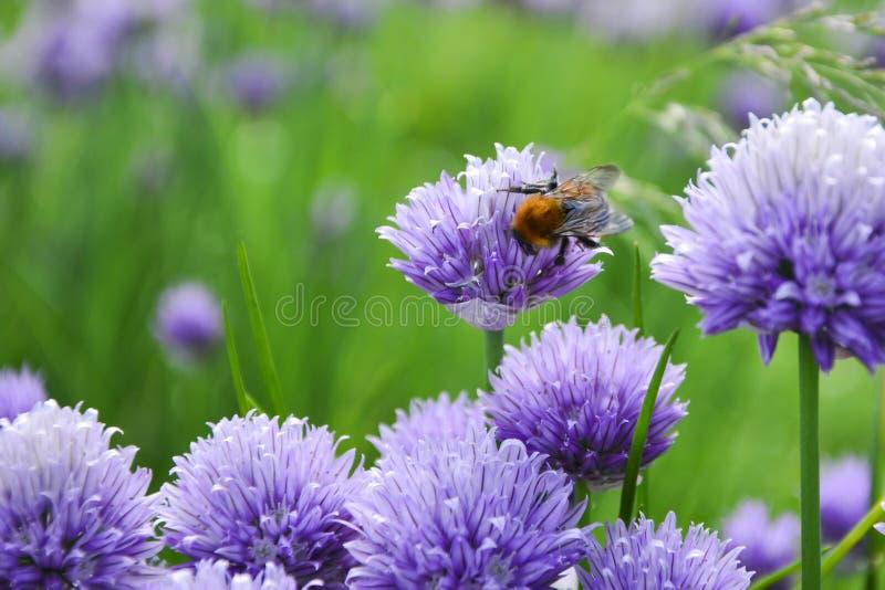 Μέλισσες Allium sphaerocephalon Allium το τυμπανόξυλο, που είναι γνωστό επίσης ως sphaerocephalon, παράγει τα δύο-τονισμένα, burg στοκ φωτογραφίες