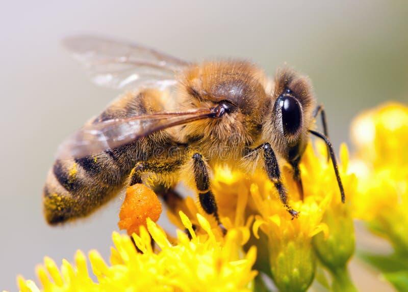 μέλι μελισσών στοκ φωτογραφίες με δικαίωμα ελεύθερης χρήσης