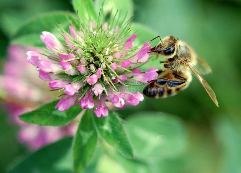 μέλι μελισσών στοκ εικόνα