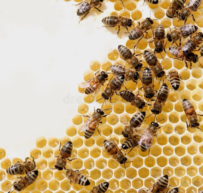 μέλι χτενών μελισσών στοκ εικόνες με δικαίωμα ελεύθερης χρήσης