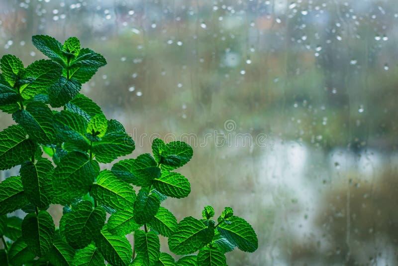 Μέντα στο υπόβαθρο του γυαλιού, υγρό από τη βροχή στοκ φωτογραφίες