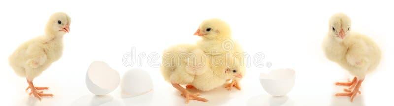 μέρη κοτόπουλων μωρών στοκ εικόνες
