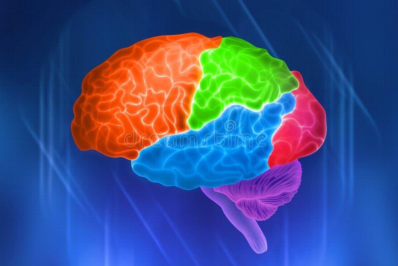 Μέρη του ανθρώπινου εγκεφάλου διανυσματική απεικόνιση