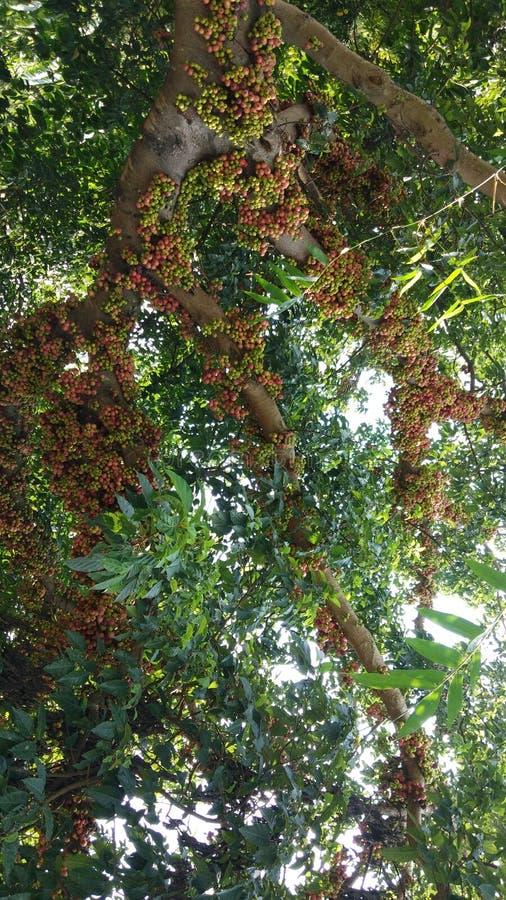 Μέρη του ζωηρόχρωμου σύκου σε ένα δέντρο στοκ φωτογραφία