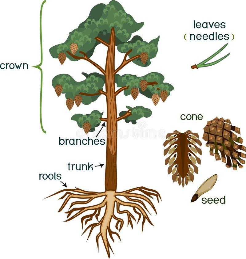 Μέρη των εγκαταστάσεων Μορφολογία του δέντρου πεύκων με την κορώνα, το σύστημα ρίζας και τον κώνο με τους τίτλους διανυσματική απεικόνιση