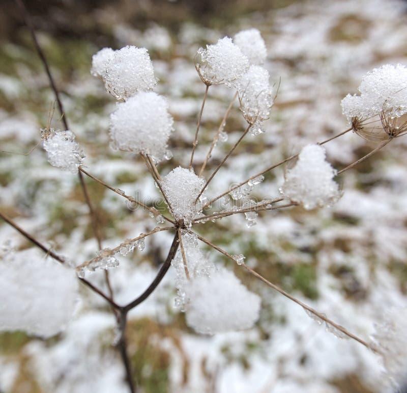 Μέσα στο χιόνι Umbel στοκ φωτογραφίες με δικαίωμα ελεύθερης χρήσης