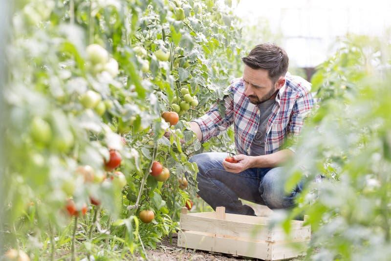 Μέσες ενήλικες ντομάτες συγκομιδής ατόμων στο αγρόκτημα στοκ φωτογραφία με δικαίωμα ελεύθερης χρήσης