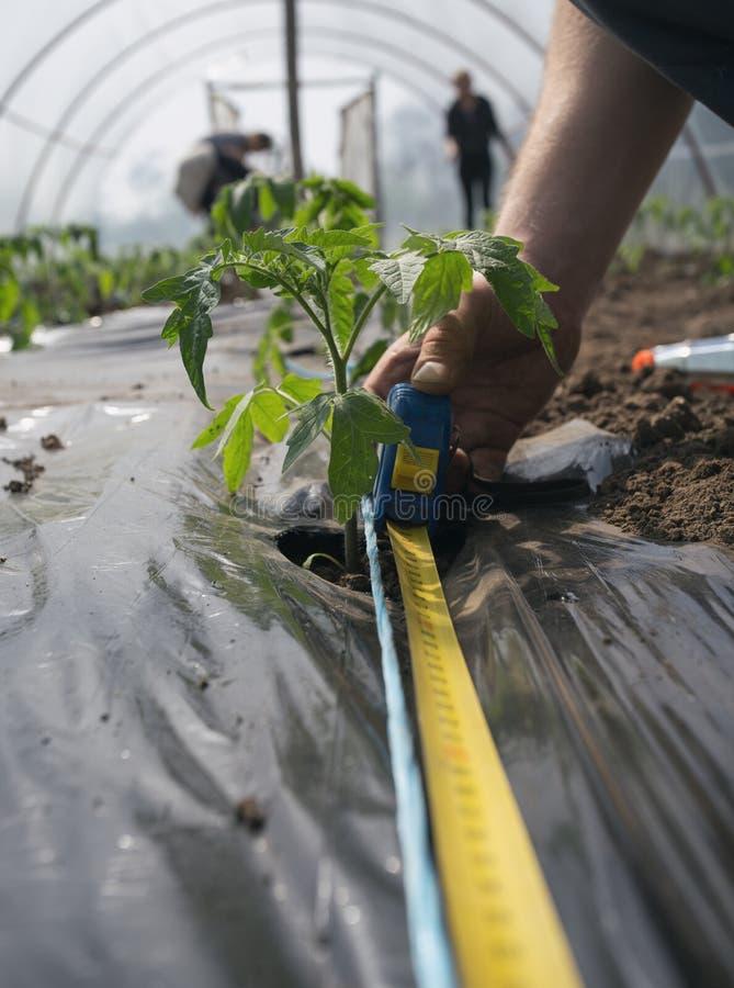 Μέτρηση του διαστήματος μεταξύ των σποροφύτων ντοματών στοκ εικόνα με δικαίωμα ελεύθερης χρήσης
