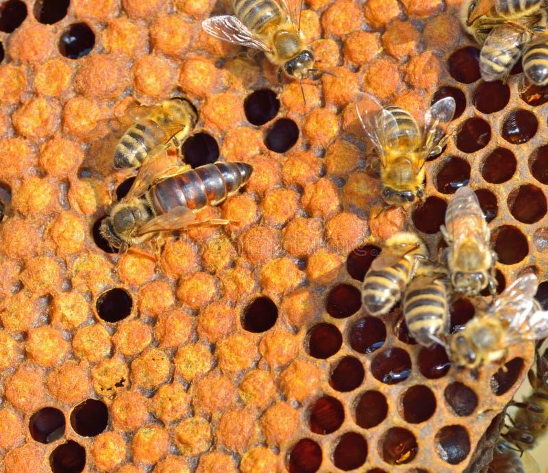 Μέλισσα βασίλισσας στοκ εικόνα με δικαίωμα ελεύθερης χρήσης