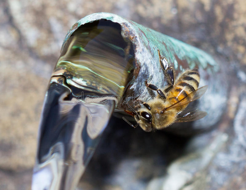 μέλισσα διψασμένη στοκ εικόνες