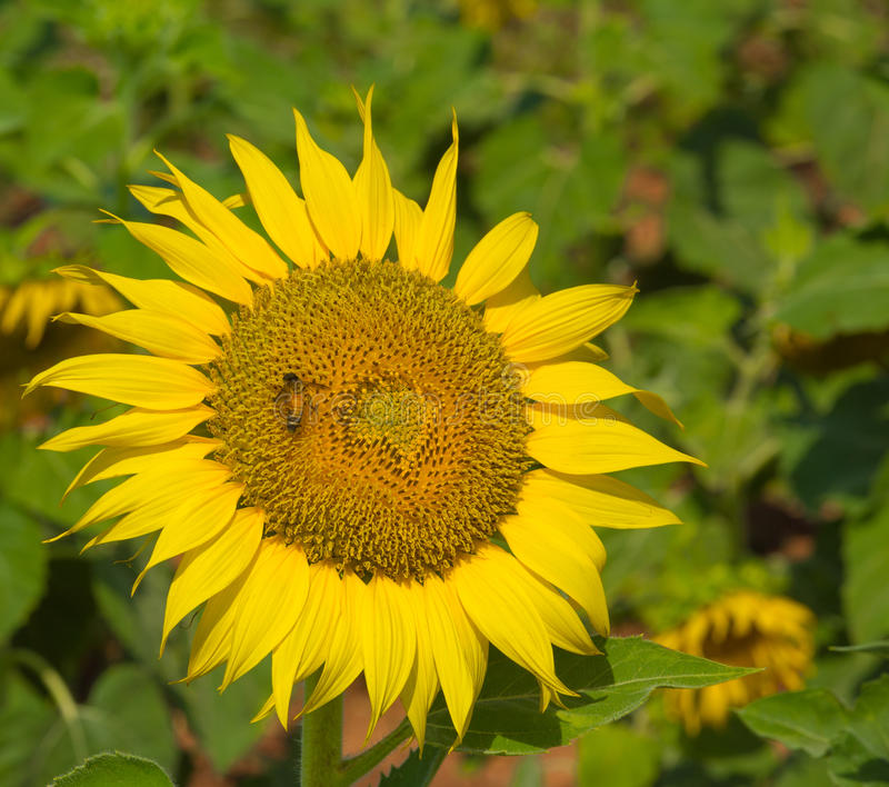Μέλισσα και ηλίανθος στοκ εικόνα με δικαίωμα ελεύθερης χρήσης