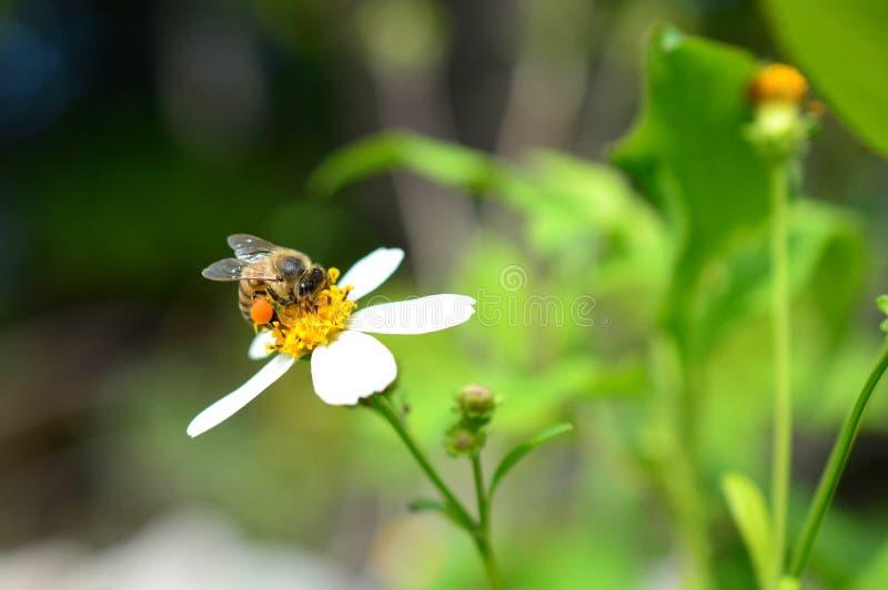 Μέλισσα μελιού με τα πλήρη καλάθια γύρης στοκ εικόνα