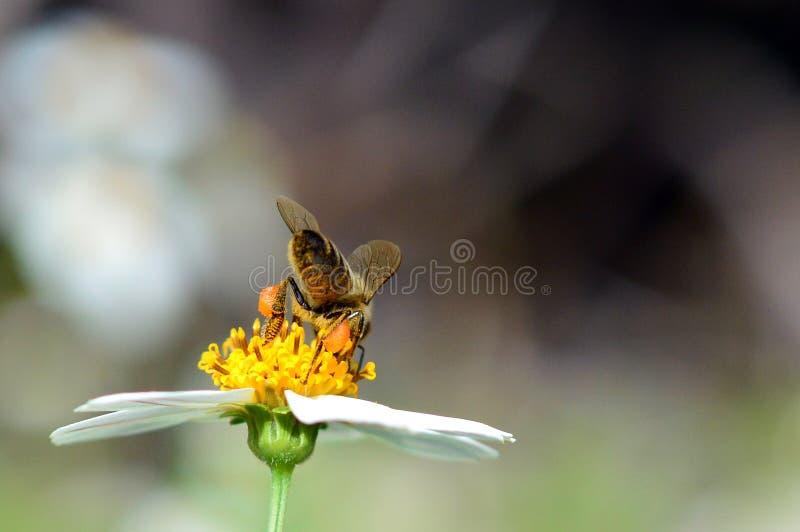 Μέλισσα μελιού με τα πλήρη καλάθια γύρης στοκ εικόνες