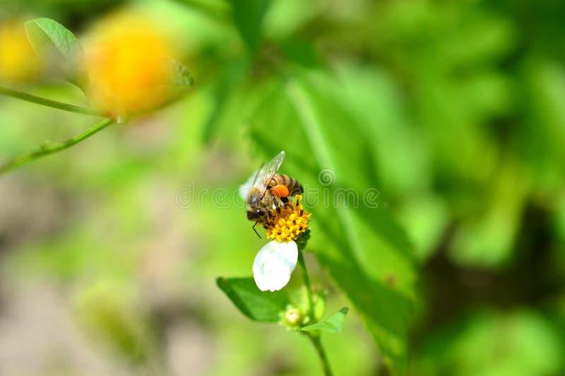 Μέλισσα μελιού με τα πλήρη καλάθια γύρης στοκ φωτογραφία με δικαίωμα ελεύθερης χρήσης