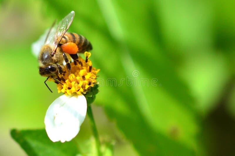 Μέλισσα μελιού με τα πλήρη καλάθια γύρης στοκ φωτογραφίες