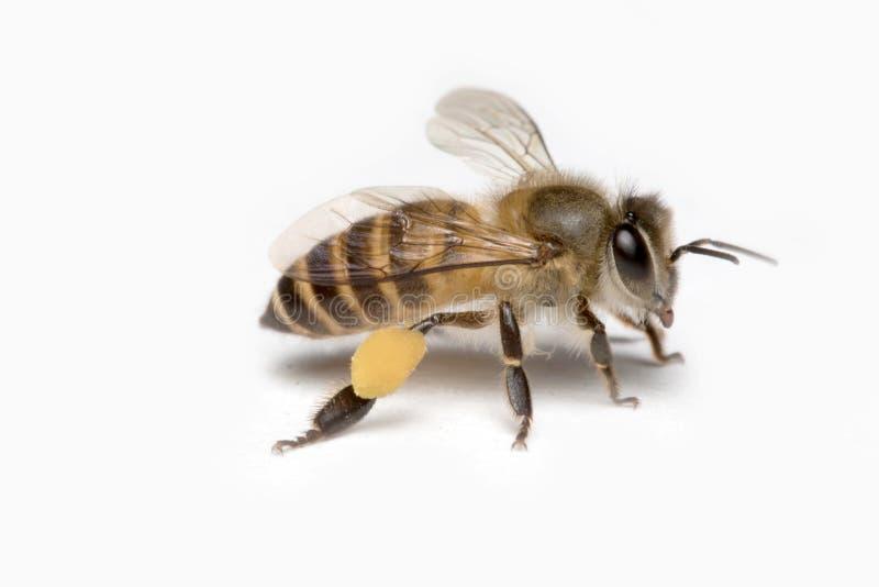 Μέλισσα μελιού στο άσπρο υπόβαθρο στοκ εικόνες με δικαίωμα ελεύθερης χρήσης