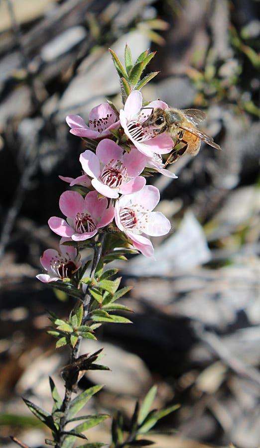 Μέλισσα μελιού στο λουλούδι Manuka στοκ εικόνες με δικαίωμα ελεύθερης χρήσης