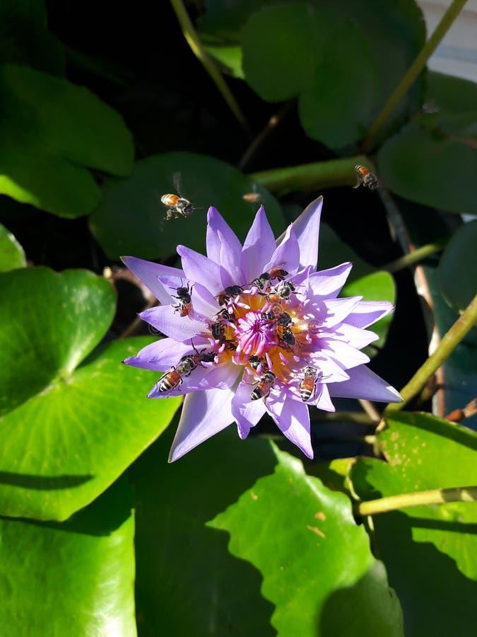 Μέλισσα με το λουλούδι λωτού στοκ φωτογραφίες