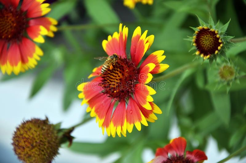 μέλισσα πεινασμένη στοκ εικόνα με δικαίωμα ελεύθερης χρήσης