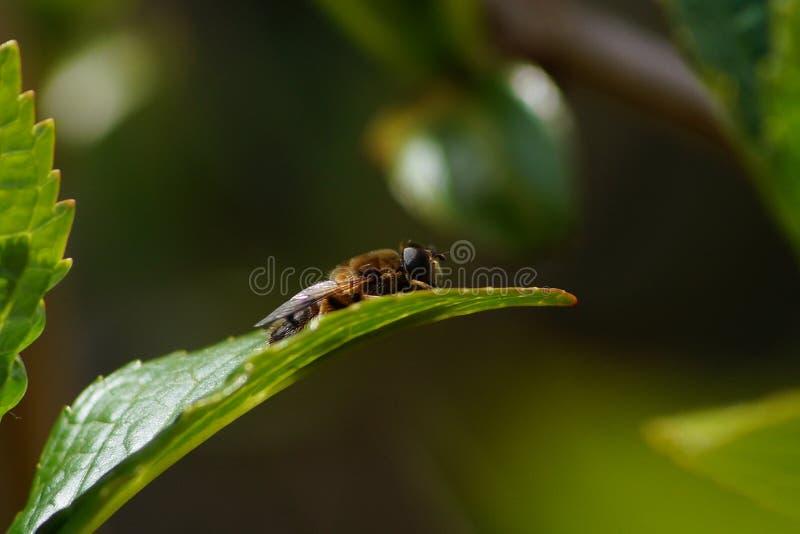 Μέλισσα που κάνει τη σκληρή δουλειά την άνοιξη στοκ εικόνες