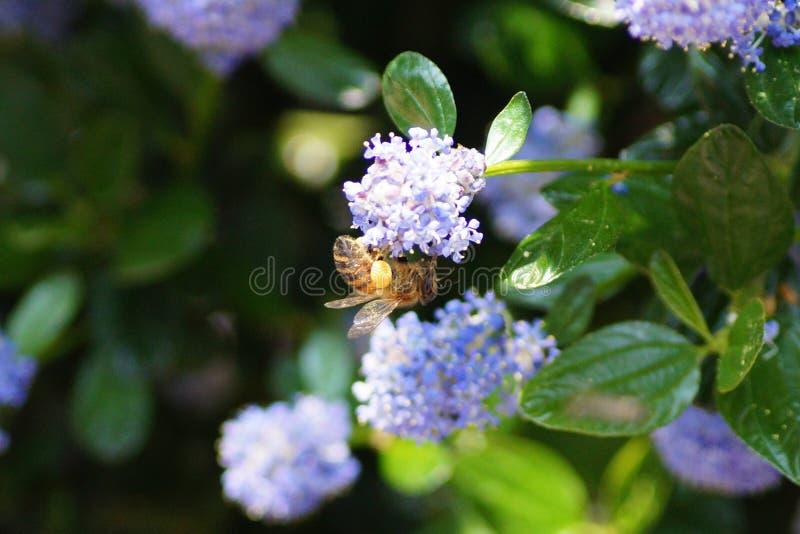 Μέλισσα που κάνει τη σκληρή δουλειά την άνοιξη στοκ φωτογραφίες